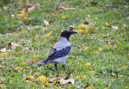Hooded crow on the grass. A bird of the family Corvidae.