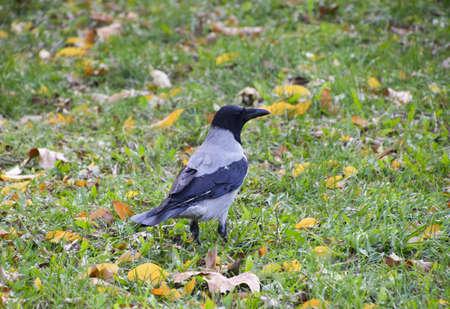 corvidae: Hooded crow on the grass. A bird of the family Corvidae.