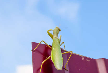 mantid: Praying mantis on a red fence. Predator insect mantis