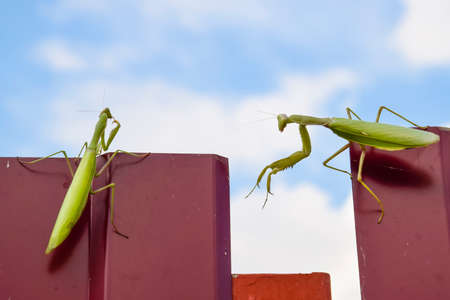 The female and the male praying mantis on a metal fence profile
