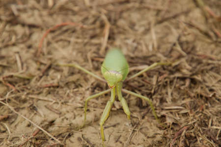 Mantis on the ground. Mantis looking at the camera. Mantis insect predator.