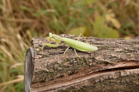 mantid: Mantis on a log acacia. Mantis looking at the camera. Mantis insect predator.