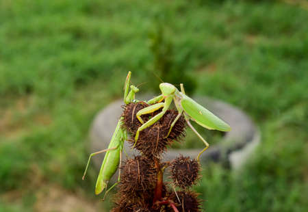 mantid: Mantis on the tong. Mating mantises. Mantis insect predator