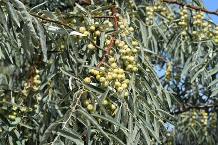 palate: Elaeagnus commutata. Loch silver. Branch with unripe berries