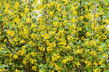 Golden currant blooms in spring in the garden yellow flowers stock golden currant blooms in spring in the garden yellow flowers stock photo 65850088 mightylinksfo