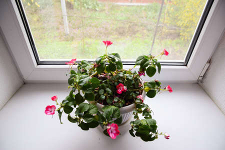 sowbread: Indoor flower in a pot on the windowsill Stock Photo