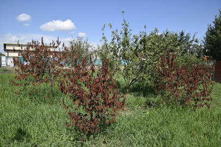 sapless: Fatalities among young cherry trees. The result of waterlogging of roots. High level of groundwater.