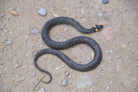 sliding scale: Grass snake, crawling along the ground. Non-poisonous snake. Frightened by the Grass snake. Stock Photo
