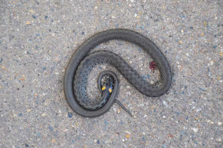 sliding scale: The dead snake. The dead, crushed by the machine Grass snake. Non-poisonous snake. Stock Photo