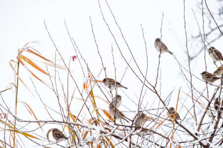 Sparrow on branches of bushes. Winter weekdays for sparrows. Common sparrow on the branches of currants. Stock Photo