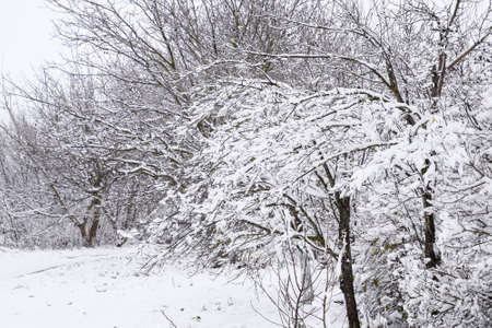 severity: Snow on the tree branches. Winter View of trees covered with snow. The severity of the branches under the snow. Snowfall in nature. Stock Photo