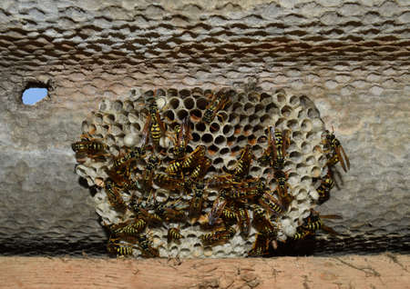 paper wasp: Wasp nest with wasps sitting on it. Wasps polist. The nest of a family of wasps which is taken a close-up.