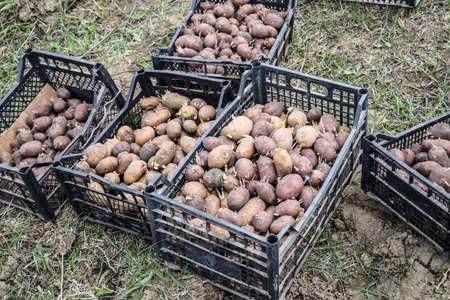 arando: Las cajas con las patatas. La preparación para la siembra de papas. Foto de archivo