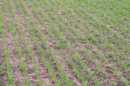 ag: Spring winter wheat field. Shoots of wheat in a field on the ground. Cultivation of cereals. Stock Photo