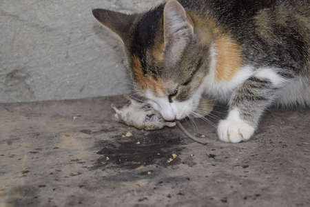 would: The cat caught the mouse. The cat eats the caught mouse. Home Hunter. Stock Photo