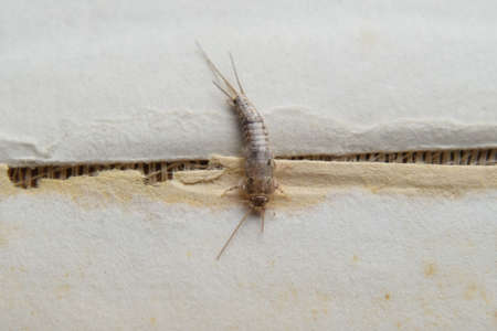 wingless: Insect feeding on paper - silverfish. Pest books and newspapers.