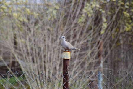Turtledove is sitting on an iron column. Dove in the village on the fence. Stock Photo