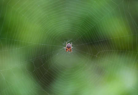 animal trap: Small spider in his web of Araneus. Lovcen spider network.