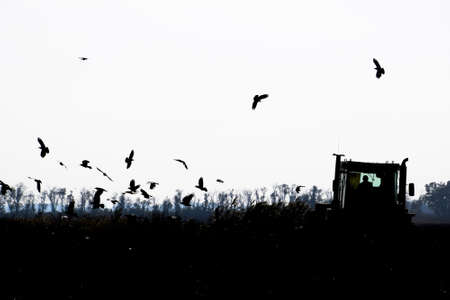 furrows: Tractor plowing a field and crows flying around him in search of food.