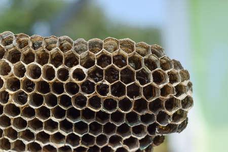 Wasp nest with honey. Wasp honey