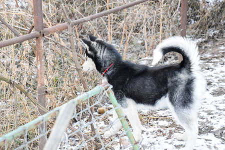 young husky dog standing by a fence from the grid.