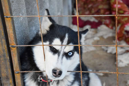 implore: Husky Dog with different eyes. Black and white husky. Brown and blue eyes.