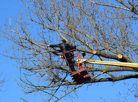 Pruning trees using a lift-arm. Chainsaw Cutting unnecessary branches of the tree. Putting in order of parks and gardens. Stock Photo