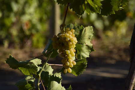 The grape gardens. Cultivation of wine grapes at the Sea of Azov.