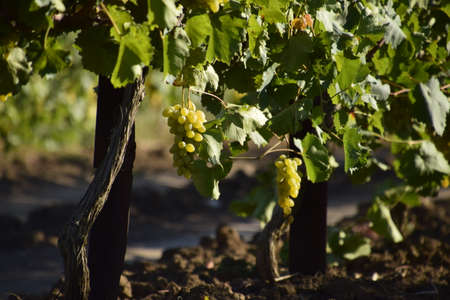 plowing: The grape gardens. Cultivation of wine grapes at the Sea of Azov.