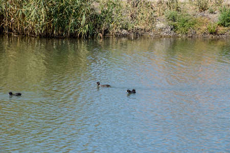 drakes: Ducks swimming in the pond. Wild mallard duck. Drakes and females.