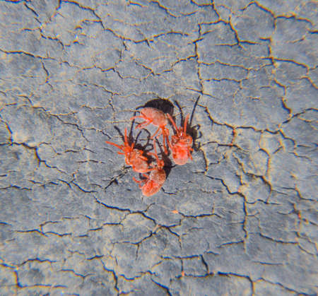 Close up macro Red velvet mite or Trombidiidae.