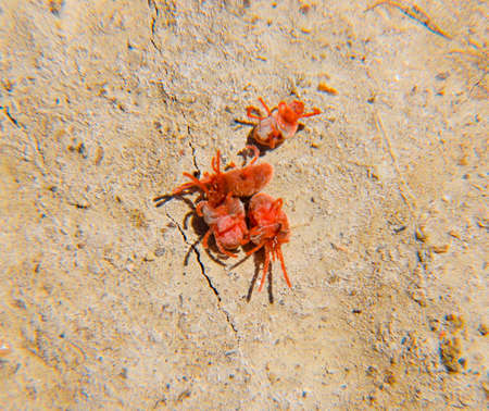 Close up macro Red velvet mite or Trombidiidae. Arthropod mites on the ground.