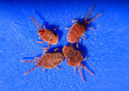 매크로를 닫습니다 빨간 벨벳 진드기 또는 Trombidiidae입니다. Arthropod는 파란색 배경에 진드기입니다. 스톡 콘텐츠 - 75354177