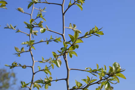 Young leaves and buds of pears. Blossoming buds of a pear.