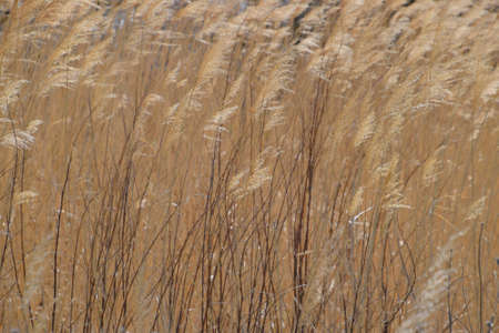 Dry panicle reed. Propagation by seed cane. Stock Photo