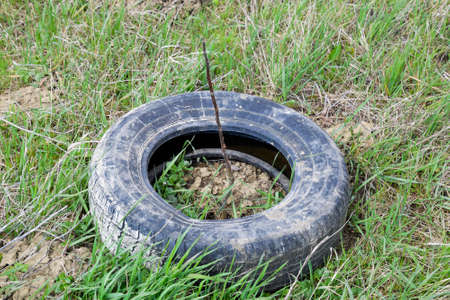 Protection of young seedlings with the help of an old rubber wheel tire.