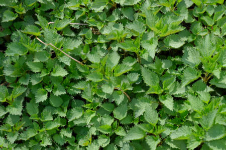 herbalism: Background of the young nettle. Glade of nettle in the garden.