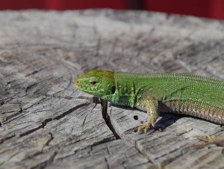 An ordinary quick green lizard. Lizard on the cut of a tree stump. Sand lizard, lacertid lizard. Stok Fotoğraf