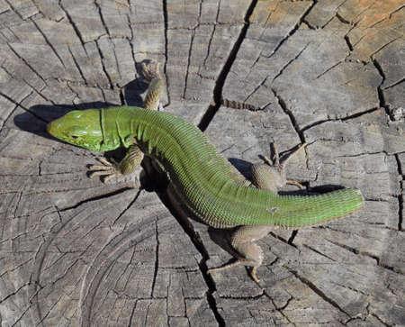 An ordinary quick green lizard. Lizard on the cut of a tree stump. Sand lizard, lacertid lizard. Stock Photo