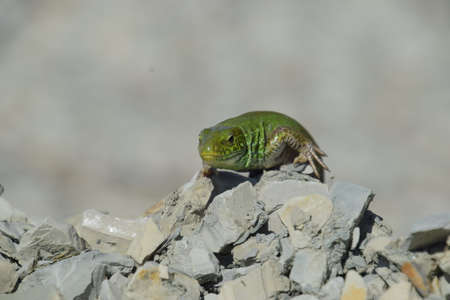 lacertidae: An ordinary quick green lizard. Lizard on the rubble. Sand lizard, lacertid lizard