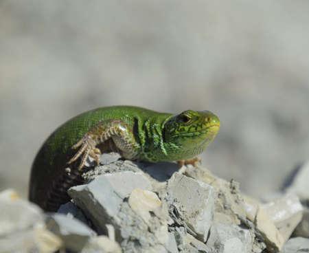 An ordinary quick green lizard. Lizard on the rubble. Sand lizard, lacertid lizard