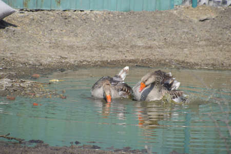 The gray goose is domestic. Homemade gray goose. Homemade geese in an artificial pond.