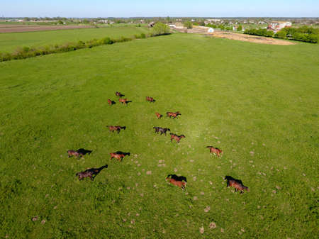Grazing horses on the field. Shooting horses from quadrocopter. Pasture for horses Stock Photo