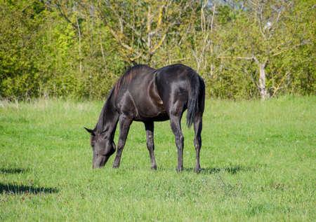 pastureland: Horses graze in the pasture. Paddock horses on a horse farm. Walking horses.