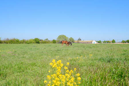 Horses on the grass in the pasture. Yellow flowers on a horse background. Horses graze in the pasture. Paddock horses on a horse farm. Walking horses.