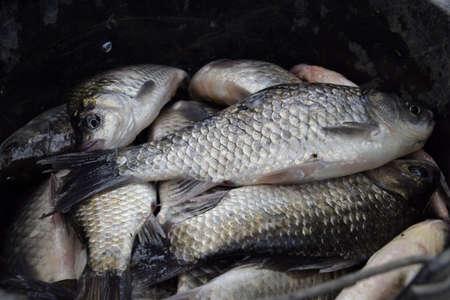 River fish macro photo. Fish catch. Carp and carp. Weed fish Stok Fotoğraf