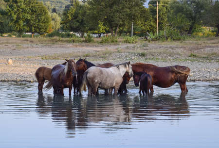 Horses walk in line with a shrinking river. The life of horses. Stock Photo