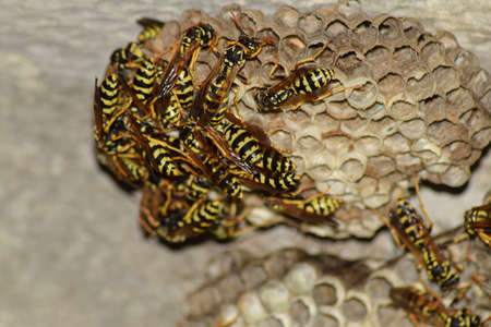 chitin: Wasps polist. The nest of a family of wasps which is taken a close-up.