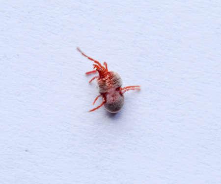 Red velvet mite on white sheet of paper. Macro shooting of velvet plaster mite Stock Photo