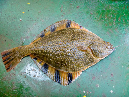 gritty: Flounder on the deck. Fishing on the boat. Bottom fish.